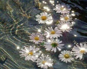 Daisies on water