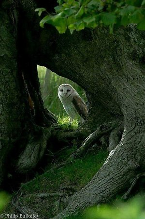 Owl in shade